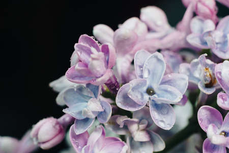 close-up of lilac flowers on a black background