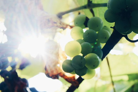 Colorful picture of green fresh grape with its yellowed leaves growing in sun-drenched vineyard somewhere in countryside. Photo made in macro style. Editorial