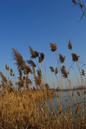 wavering: reed