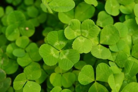 trifolium: green clove