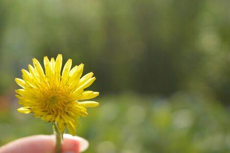 humilde: flor diente de león Foto de archivo