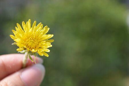humilde: una sola flor amarilla en la mano Foto de archivo