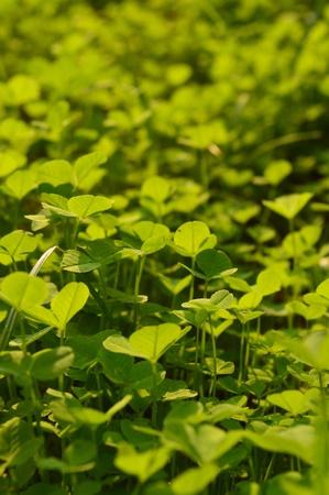 brings: clover brings good luck