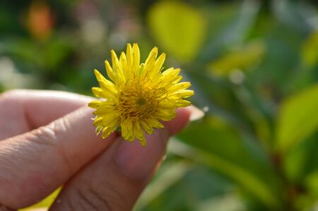humilde: un solo diente de león amarillo