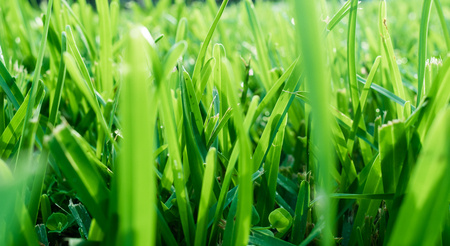 textured background - close up of green grass in the morning light Stock Photo
