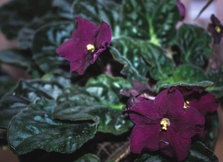 close up of deep purple african violets with dark green leaves