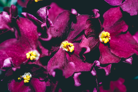 close up of yellow pollen on redish-purple african violets Stock Photo