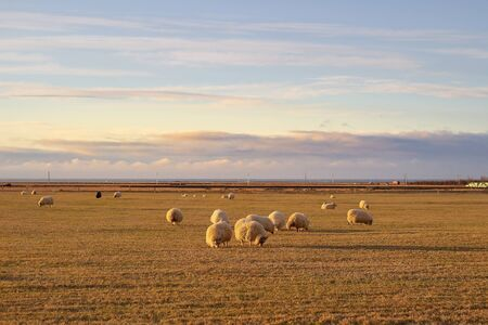 Colorful autumn nature in Iceland. Beautiful Icelandic landscape with big field, sky with clouds and wooly sheeps