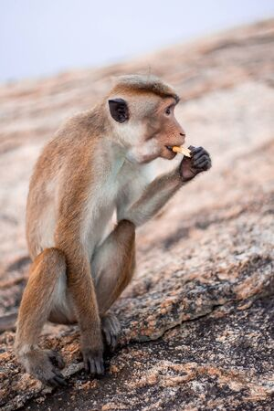 Little monkey is sitting on the rock and eating some food in Sri Lanka.