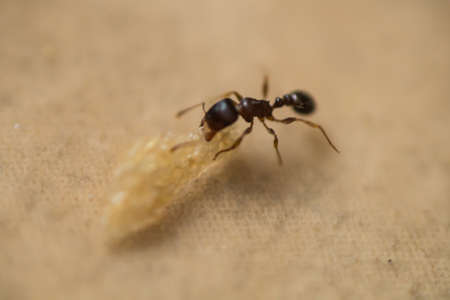 ant carrying a crumb of bread, macro