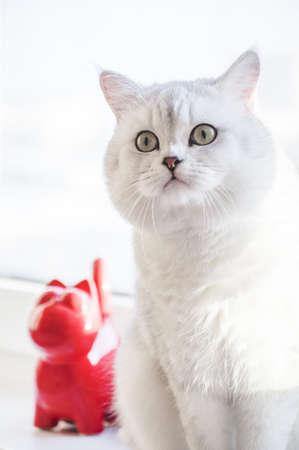 British short-hair silver cat Stock Photo
