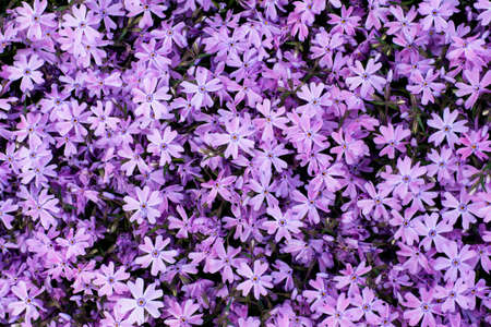 background texture with summer purple violet blooming flowers