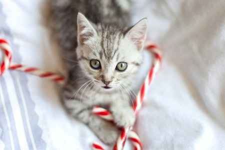Kitten with Christmas candy canes laying on bed and looking up into the camera. Reklamní fotografie