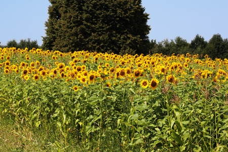 Field of sunflowers. Against the backdrop of trees and blue sky. photo