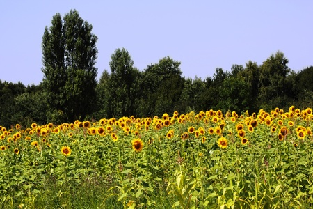 Field of sunflowers. Against the backdrop of trees and blue sky. Stock Photo