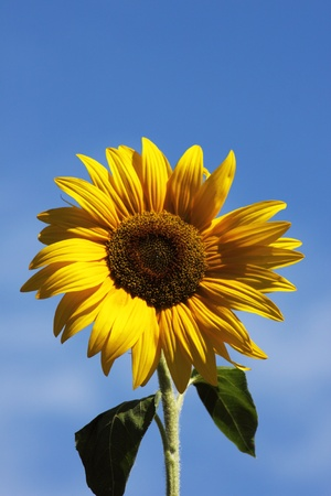 colour images: Sunflower on background sky