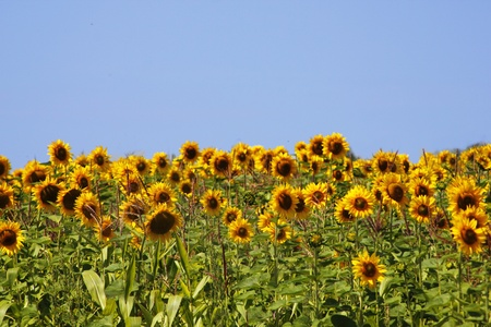Field of sunflowers. Against the blue sky Stock Photo
