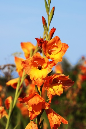 Gladiolus against the blue sky  Stock Photo
