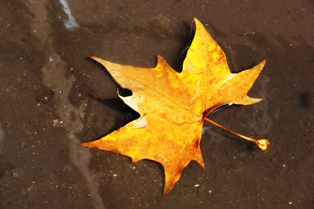 maple leaf in a puddle on the pavement  Stock Photo