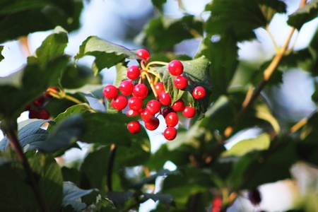 bunchy: red berries viburnum on to the bush in detail