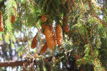 Pine cones on the branch