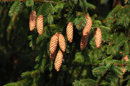 Pine cones on the branch photo