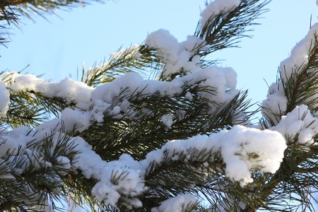 Snow and ice sticking to pine needles photo