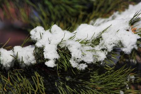 Snow and ice sticking to pine needles