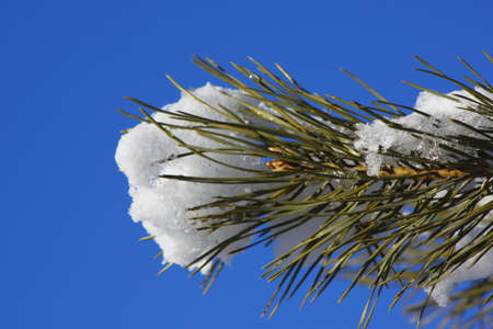 Snow-covered fir branches against the blue sky close up Illuminated by bright sunshine Stock Photo
