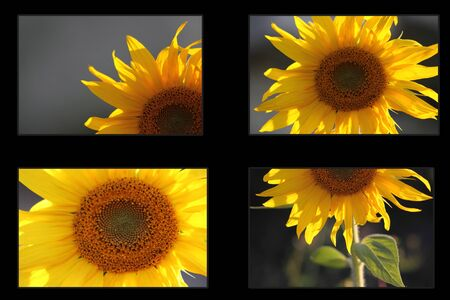 ablooming: pieces of sunflower in frame