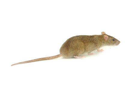 rat isolated on a white photo