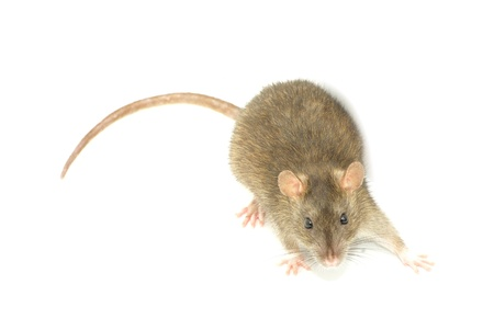 rat isolated on a white