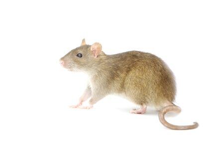 royalty free photo: rat isolated on a white