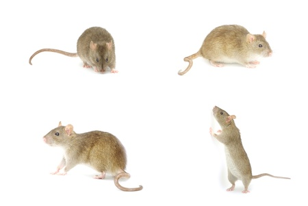 royalty free images: rat isolated on a white