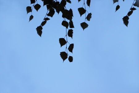 birch leaves on the background of blue sky
