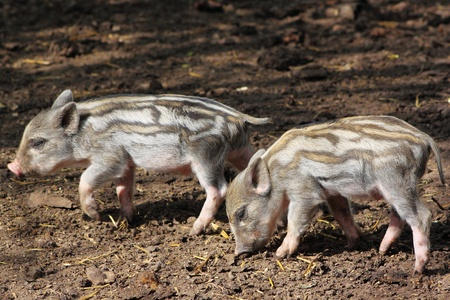 Two little pig in search of food.