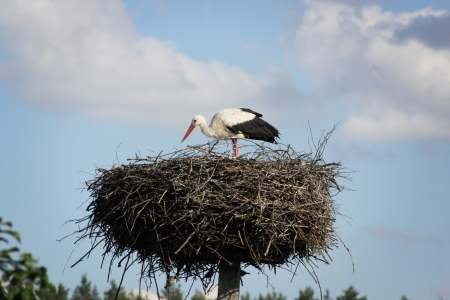 royalty free photo: Stork in its nest  Beautiful Ukraine