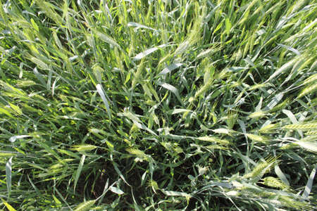 Not ripe, green wheat  Beautiful Ukraine