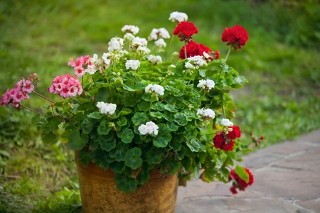pelargonium in a flowerpot outdoor photo
