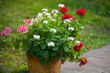 pelargonium in a flowerpot outdoor