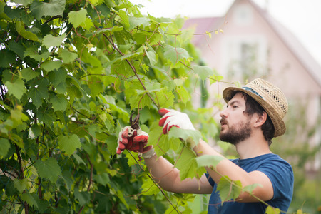 Man wearing gloves and straw hat prune grape brunch with secateur, work on a family farm 版權商用圖片 - 83604009