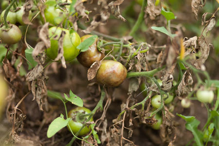 Tomato Stricken Phytophthora (Phytophthora Infestans). Tomatoes get sick by late blight In Vegetable Garden.