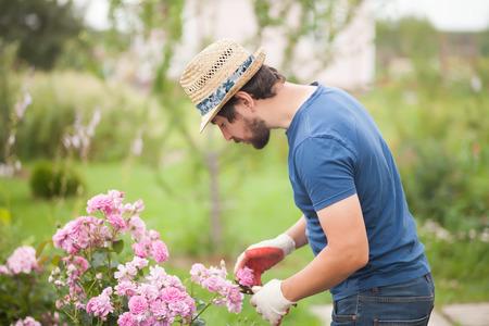 Giardiniere dell'uomo tagliato o tagliato cespuglio rosa con attrezzo secateur in giardino all'aperto. Rose crescenti, lavori di puntamento in rosario.