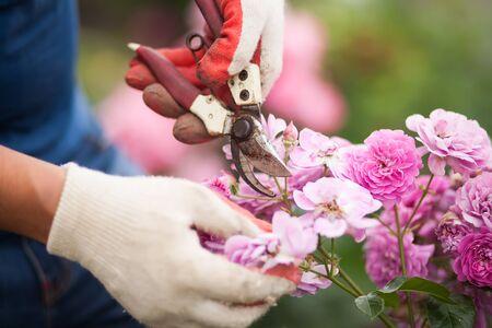 男庭師カットまたは屋外ガーデンで secateur ツールを使ってバラの茂みをトリミングします。成長のバラ、ロザリオの剪定作業。