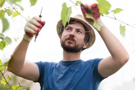 L'uomo che indossa guanti e cappello di paglia prugna brunch con secateur, lavorare in una fattoria di famiglia Archivio Fotografico - 83990273