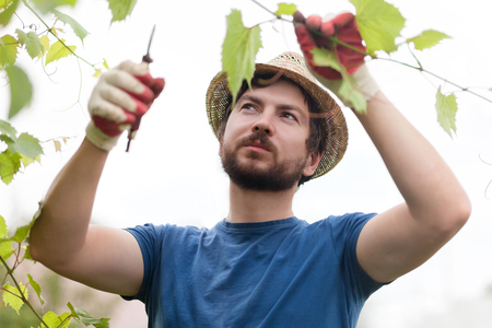 Man wearing gloves and straw hat prune grape brunch with secateur, work on a family farm 版權商用圖片 - 83990273