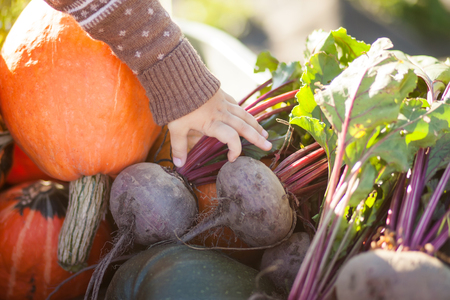 Autumn harvest: organic pumpkins and squashes, beetroots and big carrots at the wheelbarrow. Child at farm, baby and healthy organic food