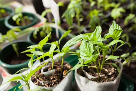 Planting chili pepper seedlings, small capsicum plants grown from seeds, springtime