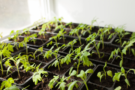 young tomato seedlings growing at plastic pots on the windowsill