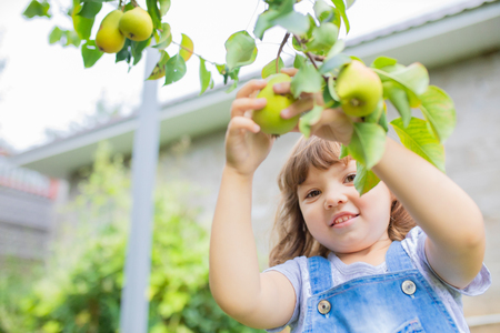 Little girl taking ripe pears at the garden, organic fruits 版權商用圖片